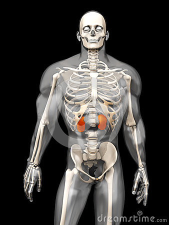 human-anatomy-visualization-kidneys-d-semi-transparent-male-body-isolated-black-51926077.jpg